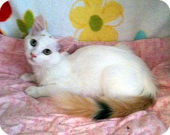 Domestic Mediumhair Kitten for adoption in Las Vegas, Nevada - Tippy