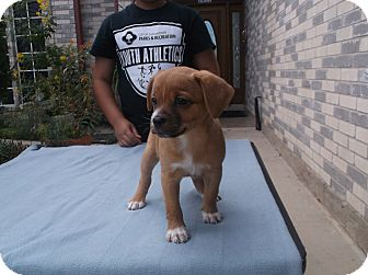 Boxer Mix Puppy for adoption in San Antonio, Texas - Kenneth