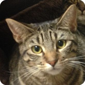 Domestic Shorthair Kitten for adoption in Winchester, California - Sulie