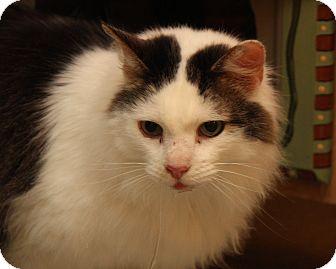 Domestic Mediumhair Cat for adoption in Marietta, Ohio - Preston (Neutered)