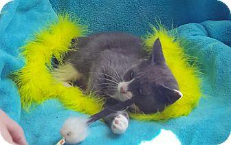 Domestic Mediumhair Kitten for adoption in Wayne, New Jersey - Eartha Kitt