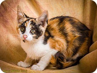 Domestic Shorthair Kitten for adoption in Anna, Illinois - HARMONY