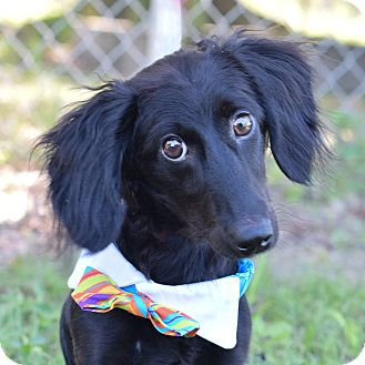 Dachshund Mix Puppy for adoption in Denver, Colorado - Toby
