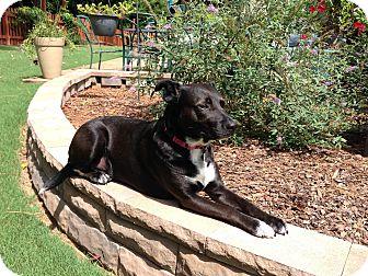 Terrier (Unknown Type, Medium)/Labrador Retriever Mix Dog for adoption in Alpharetta, Georgia - Knight