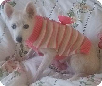 American Eskimo Dog Mix Dog for adoption in St. Louis, Missouri - Precious Angel