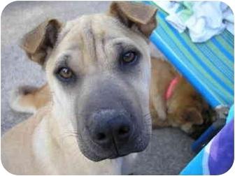 Shar Pei Mix Puppy for adoption in Houston, Texas - Liu