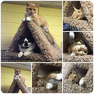 Domestic Shorthair Cat for adoption in Bishopville, South Carolina - Mary