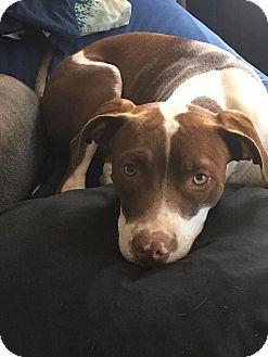 Pointer Mix Dog for adoption in Fairfax, Virginia - HAPPY
