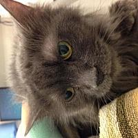 Domestic Longhair Cat for adoption in Pittsburgh, Pennsylvania - Ripley