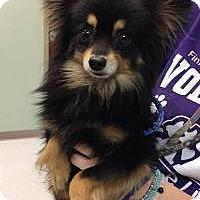 Adopt A Pet :: Tommy - Shawnee Mission, KS