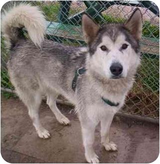 Husky Mix Dog for adoption in Cold Lake, Alberta - Lakota