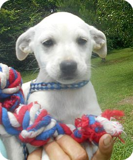 Chihuahua/Dachshund Mix Puppy for adoption in Allentown, New Jersey - Cassina
