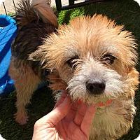 Adopt A Pet :: Lilly - Las Vegas, NV