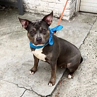 Pit Bull Terrier Mix Puppy for adoption in New York, New York - Dolly aka Muneca