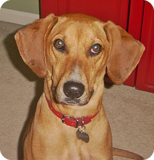 Vizsla/Redbone Coonhound Mix Dog for adoption in Chesterfield, Michigan - Annie 2017 (m/c)