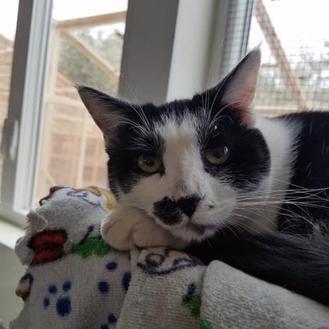 Domestic Shorthair/Domestic Shorthair Mix Cat for adoption in Mountain Center, California - Zelda