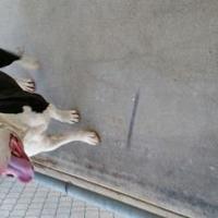 Adopt A Pet :: 35827411 - Jacksboro, TX