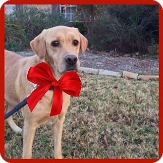 Labrador Retriever Dog for adoption in Denton, Texas - Hermione