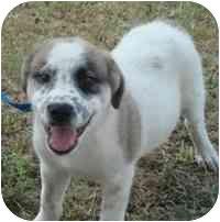 St. Bernard Mix Puppy for adoption in Brenham, Texas - Diesel