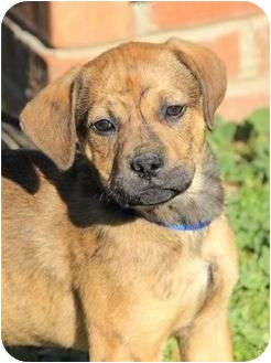 Boxer Mix Puppy for adoption in Spring Valley, New York - Connor