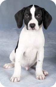 Beagle/Springer Spaniel Mix Puppy for adoption in Chicago, Illinois - Dodger*ADOPTED!*