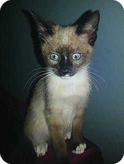 Snowshoe Kitten for adoption in Tampa, Florida - Mathew