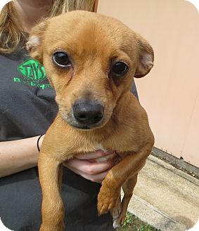 Chihuahua Mix Dog for adoption in Ocean Springs, Mississippi - Rusty