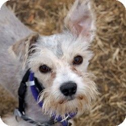 Schnauzer (Miniature) Mix Dog for adoption in Eatontown, New Jersey - Biscuit