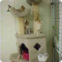 Domestic Shorthair Kitten for adoption in House Springs, Missouri - Kittens Galore!!!