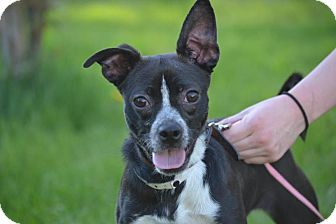 Chihuahua/Boston Terrier Mix Puppy for adoption in Broadway, New Jersey - Pepper