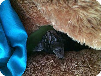 Domestic Shorthair Kitten for adoption in Scottsdale, Arizona - Jerome-Courtesy Listing