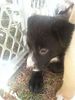 Border Collie Mix Puppy for adoption in Forest Hill, Maryland - Raven