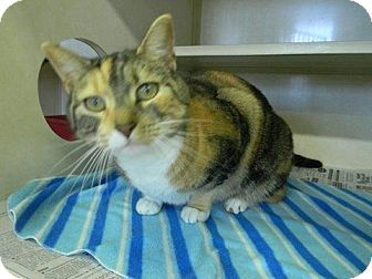 Domestic Shorthair Cat for adoption in Tyner, North Carolina - Maggie