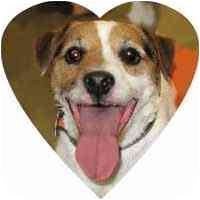 Jack Russell Terrier Dog for adoption in Herndon, Virginia - Petey