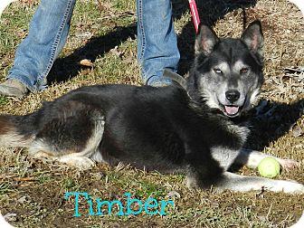 Siberian Husky/German Shepherd Dog Mix Dog for adoption in Lawrenceburg, Tennessee - Timber