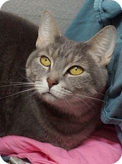 Domestic Shorthair Cat for adoption in Medford, Massachusetts - Miles