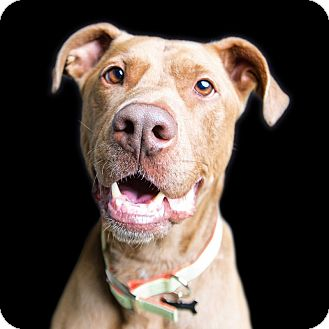Pit Bull Terrier/Labrador Retriever Mix Dog for adoption in Wilmington, Delaware - Doodle