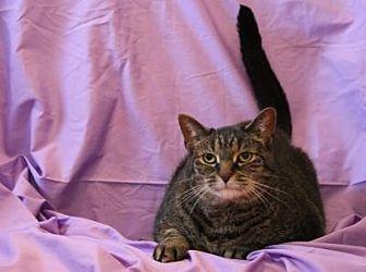 Domestic Shorthair Cat for adoption in Sebastian, Florida - Harley