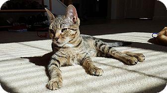 Domestic Shorthair Kitten for adoption in San Diego, California - Zinger