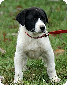 St. Bernard/Great Pyrenees Mix Puppy for adoption in Portland, Maine - Lasse