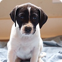 Adopt A Pet :: Jelly Roll - Broomfield, CO