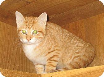 Domestic Shorthair Kitten for adoption in Witter, Arkansas - Bear