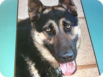 German Shepherd Dog Mix Puppy for adoption in Los Angeles, California - HEINRICH VON HIMMEL