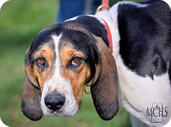Treeing Walker Coonhound Mix Dog for adoption in Martinsville, Indiana - Josie