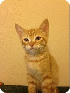 Domestic Shorthair Kitten for adoption in Plano, Texas - MANGO-SWEETEST ONE
