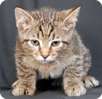 Domestic Shorthair Kitten for adoption in Newland, North Carolina - Squirrel