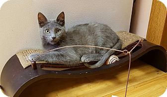 Russian Blue Kitten for adoption in Hazel Park, Michigan - Patrick Swayze