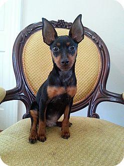 Miniature Pinscher Mix Puppy for adoption in Gaithersburg, Maryland - Jayden
