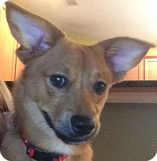 Corgi/Dachshund Mix Puppy for adoption in Oakland, Florida - Chance