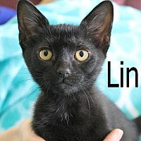 Domestic Shorthair Cat for adoption in Wichita Falls, Texas - Linus 2